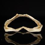 Genuine Black Tip Shark Jaw // Medium