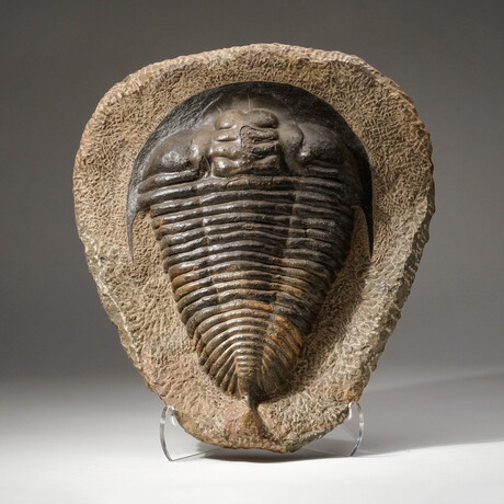 Huge Natural Paradoxides Trilobite Fossil in Matrix + Acrylic Display Stand