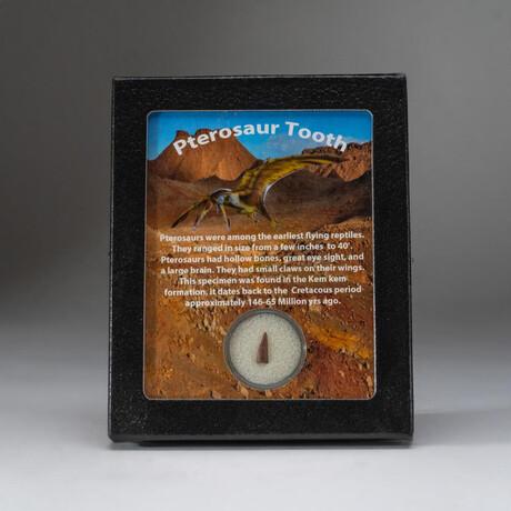 Genuine Pterosaur Dinosaur Tooth + Display Box