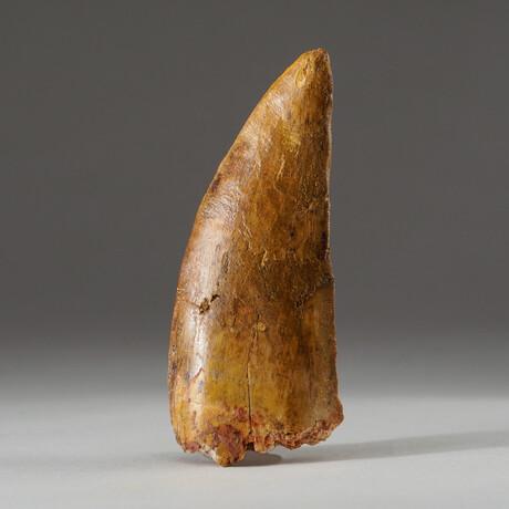 Genuine Natural Carcharodontosaurus Dinosaur Tooth + Display Box // V4