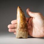 Genuine Natural Carcharodontosaurus Dinosaur Tooth + Display Box // Large