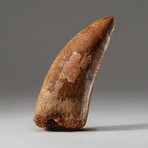Genuine Natural Carcharodontosaurus Dinosaur Tooth + Display Box // V3