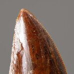 Genuine Natural Carcharodontosaurus Dinosaur Tooth + Display Box // V2