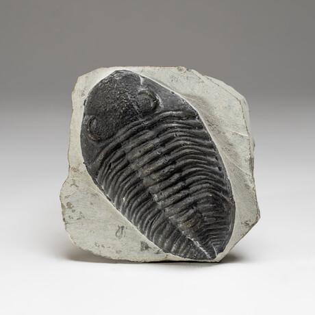 Genuine Trilobite Fossil