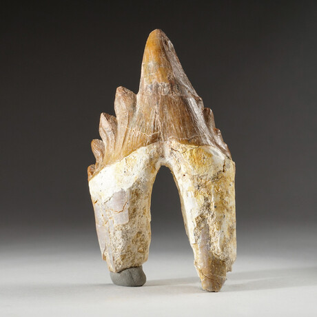 Genuine Natural Pre Historic Basilousaurus Whale Tooth + Display Box // V1