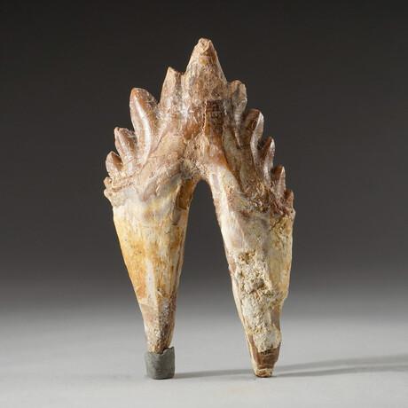 Genuine Natural Pre Historic Basilousaurus Whale Tooth + Display Box // V3