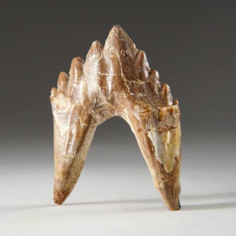 Genuine Natural Pre Historic Basilousaurus Whale Tooth + Display Box // V2
