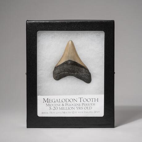 "Genuine 2-3""Megalodon Shark Tooth + Display Box"