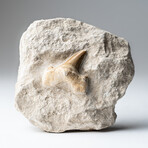 Genuine Pre-Historic Shark Tooth Fossil On Matrix