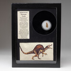 Genuine Spinosaur Dinosaur Tooth + Display Box
