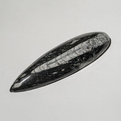 Genuine Polished Orthoceras Fossil // Small