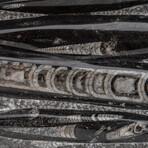 Genuine Polished Orthoceras Fossil Plate // V1