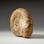 Genuine Natural Ammonite Fossil // Small