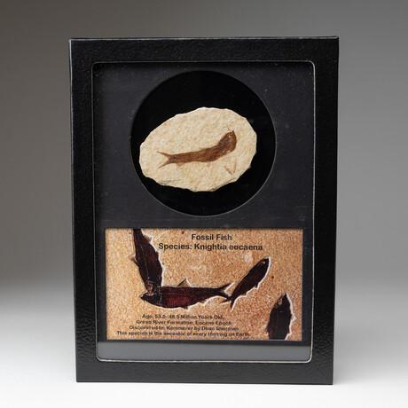 Genuine Knightia Fossil Fish + Glass Display Box