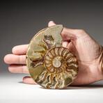 Genuine Polished Calcified Ammonite Half // Small