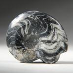 Genuine Polished Goniatite Fossil // Small
