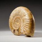 Genuine Natural Ammonite Fossil // Large