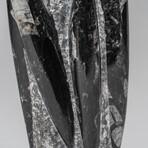 Genuine Polished Orthoceras Natural Fossil Statue
