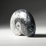 Genuine Polished Goniatite Fossil // Large