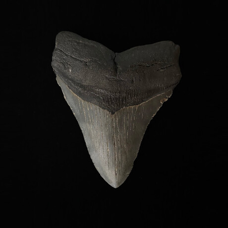 """4.49"""" High Quality Serrated Megalodon Tooth"""