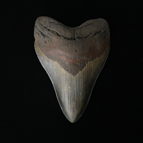 """5.97"""" Massive Serrated Megalodon Tooth"""