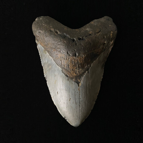 """5.66"""" Massive Megalodon Tooth"""