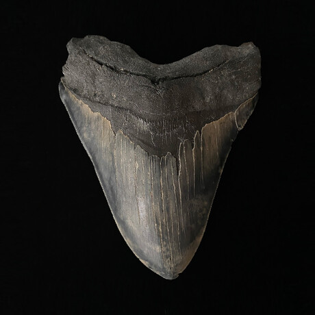 """5.86"""" High Quality Serrated Megalodon Tooth"""