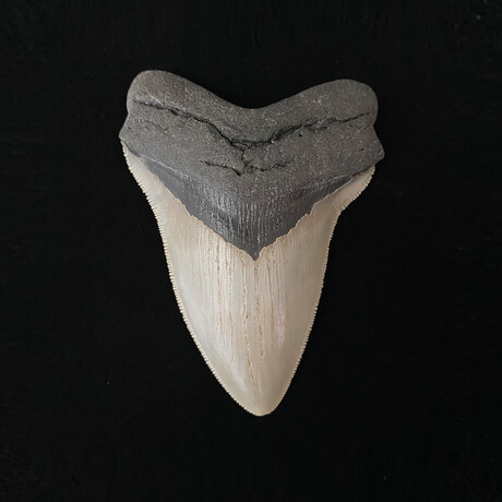 """4.99"""" High Quality Serrated Megalodon Tooth"""
