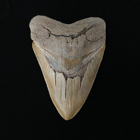 """6.13"""" Massive High Quality Serrated Megalodon Tooth"""