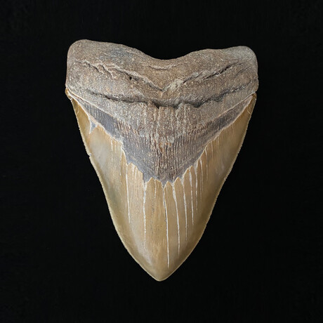"""5.88"""" Massive High Quality Serrated Megalodon Tooth"""
