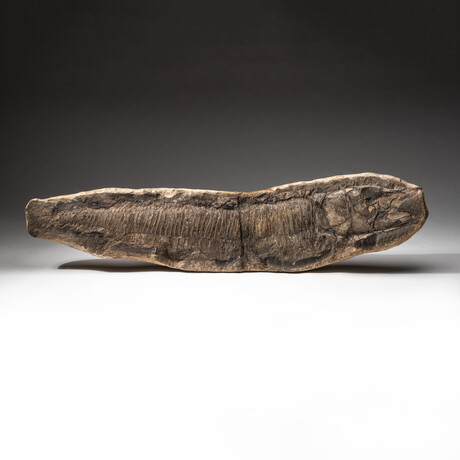 Genuine Natural Aspidorhynchus Fish Fossil + Acrylic Display Stand