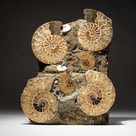 Genuine Polished Calcified Ammonite Cluster // V5