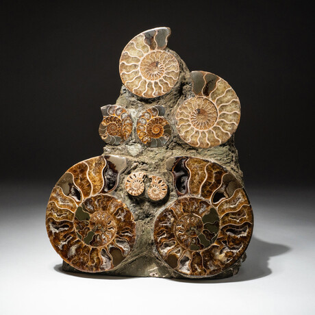 Genuine Polished Calcified Ammonite Cluster // V4
