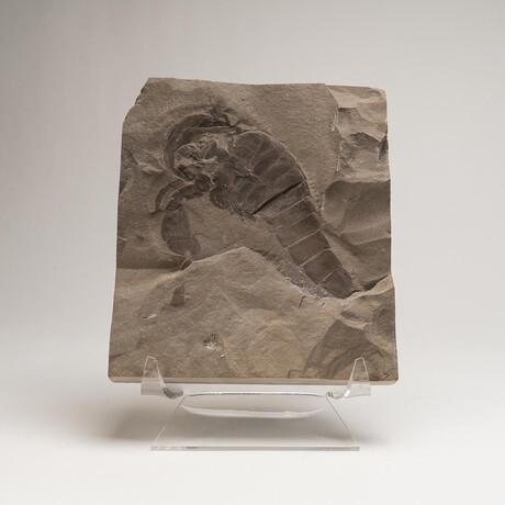 Genuine Natural Fossilized (Eurypterus) Sea Scorpion in Matrix + Acrylic Display Stand