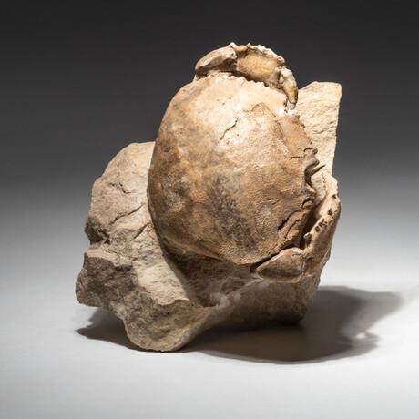 Genuine Natural Fossilized Crabs (Harpactocacinus Punctatus) // V2