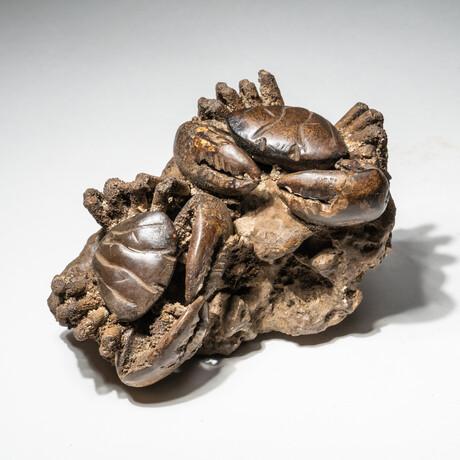 Genuine Natural Xantho (Lophoxanthus) Crabs // V1