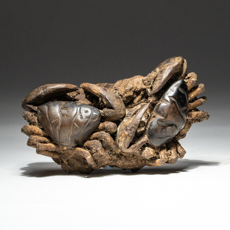 Genuine Natural Xantho (Lophoxanthus) Crabs // V2