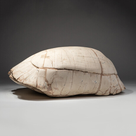 Genuine Natural Fossilized Turtle Shell // V1