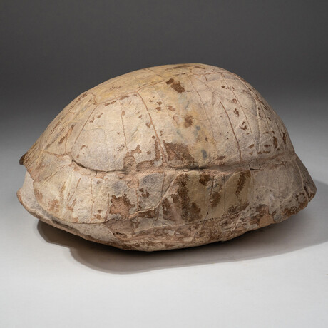 Genuine Natural Fossilized Turtle Shell // V2