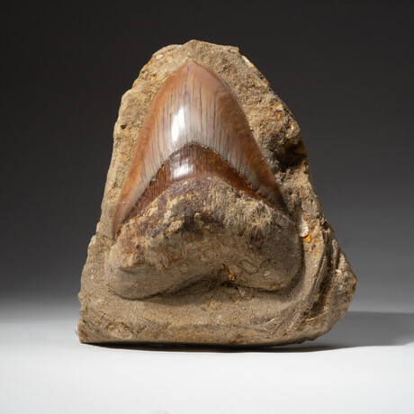 Giant Genuine Megalodon Tooth in Matrix