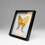 Genuine Argema Mittrei + Display Frame