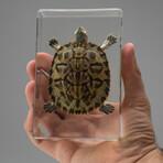 Genuine Large Turtle in Lucite