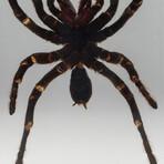 Genuine Large Tarantula in Lucite