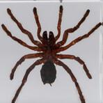 Genuine Small Tarantula in Lucite