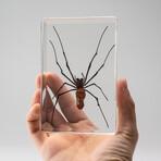 Genuine Golden Orb Spider in Lucite