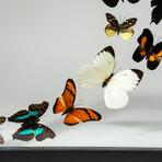 16 Genuine Butterflies + Display Frame
