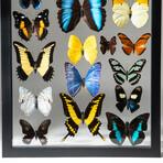 22 Genuine Butterflies + Display Frame // V1