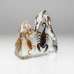 2 Genuine Fighting Scorpions in Lucite