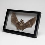 Genuine Rhinolphus Lepidus // The Horshoe Bat + Display Frame