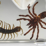 Genuine Baby Tarantula + Centipede